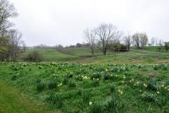 Daffodil Farm LItchfiled 2017 (116)