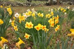 Daffodil Farm LItchfiled 2017 (139)