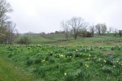 Daffodil Farm LItchfiled 2017 (14)