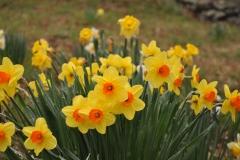 Daffodil Farm LItchfiled 2017 (143)