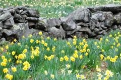 Daffodil Farm LItchfiled 2017 (153)
