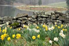 Daffodil Farm LItchfiled 2017 (154)