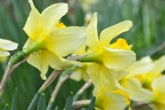 Daffodil Farm LItchfiled 2017 (75)