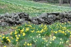 Daffodil Farm LItchfiled 2017 (85)