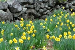 Daffodil Farm LItchfiled 2017 (87)