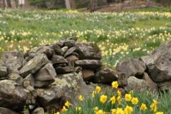Daffodil Farm LItchfiled 2017 (88)
