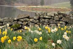 Daffodil Farm LItchfiled 2017 (95)