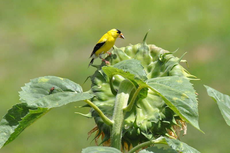 Yellow-Finch-on-Sunflower