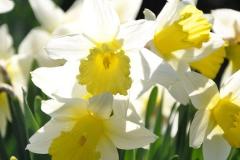 CT Yellow Daffodils