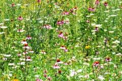 Wildflower-Field