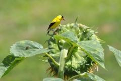 Yellow-Finch-on-Sunflower