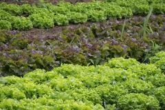 Vegetable-gardening-lettuce