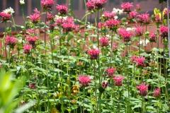 Bee-Balm-flowers