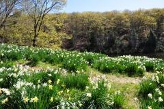 Daffodils-Litchfield-spring