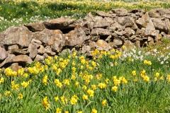 Daffodils-Stone-Wall-Wildfl