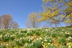 Daffodils-Wildflower-Garden