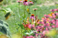 FInch-in-wildflower-field