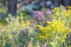 Wildflowers-goldenrod