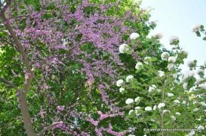 Redbud Tree & vibernum