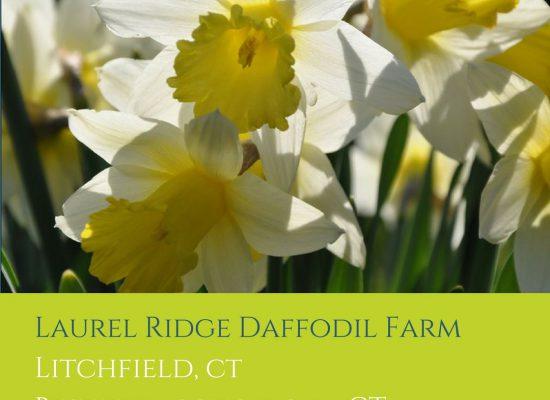 Laurel Ridge Daffodil Farm, Litchfield CT